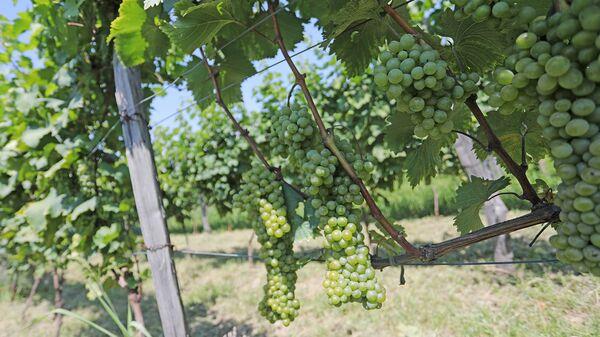 Виноградник на предприятии по производству биовина в селе Руиспири, Ахметского района - Sputnik Грузия