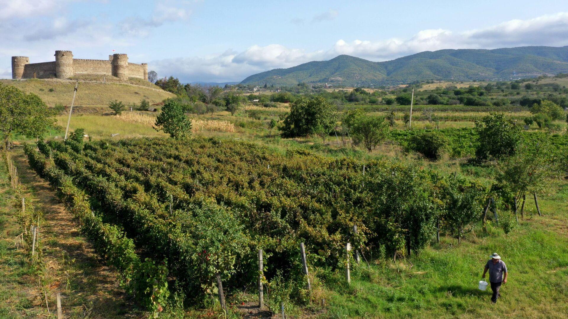 Сбор урожая винограда - ртвели в регионе Кахети - Sputnik Грузия, 1920, 15.09.2021