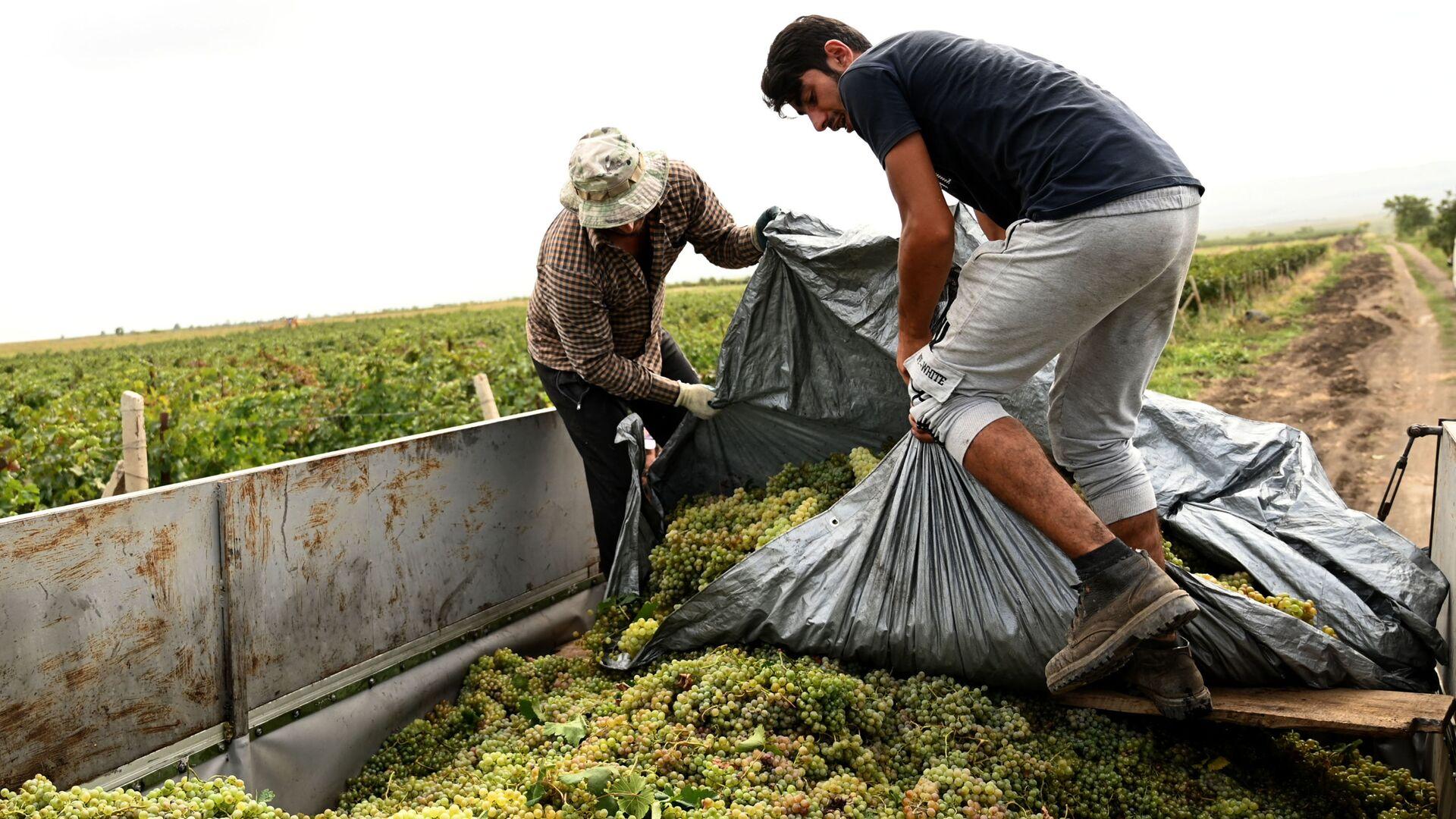 Сбор урожая винограда - ртвели в регионе Кахети - Sputnik Грузия, 1920, 07.09.2021