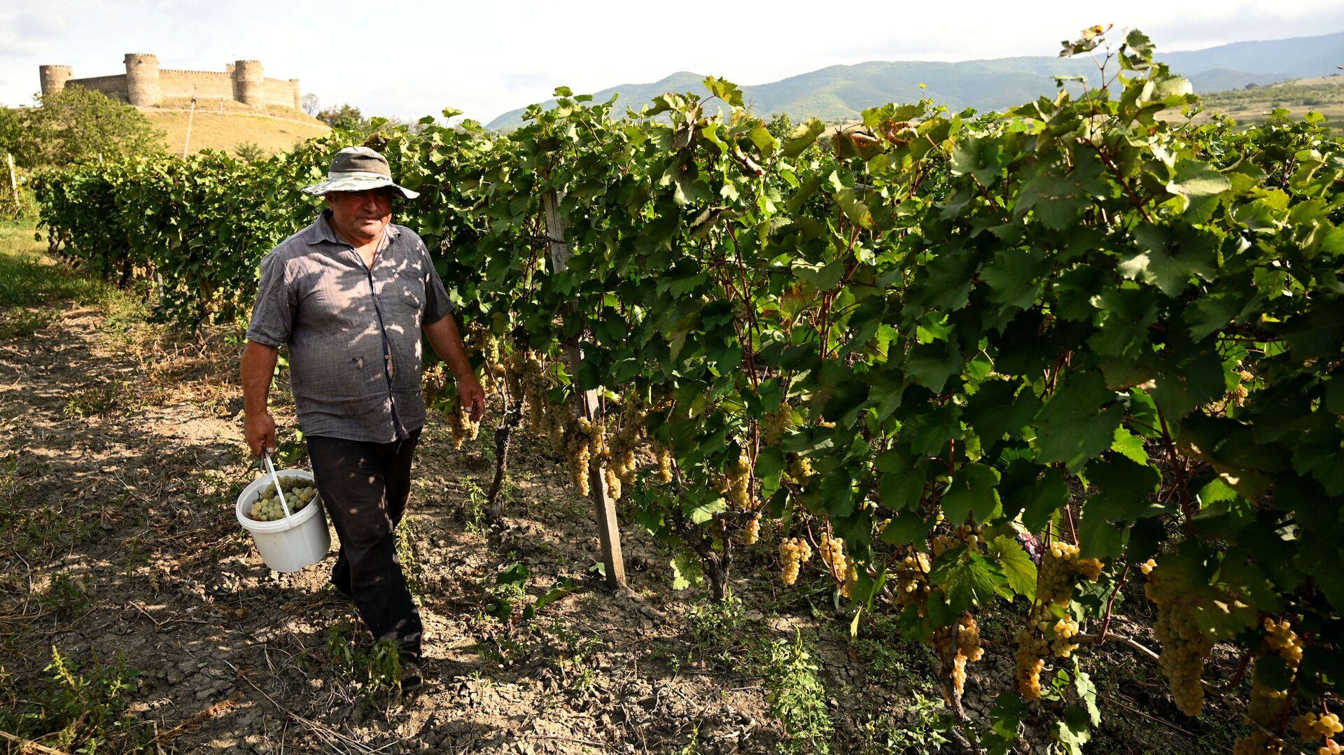 Сбор урожая винограда - ртвели в регионе Кахети  - Sputnik Грузия, 1920, 10.09.2021