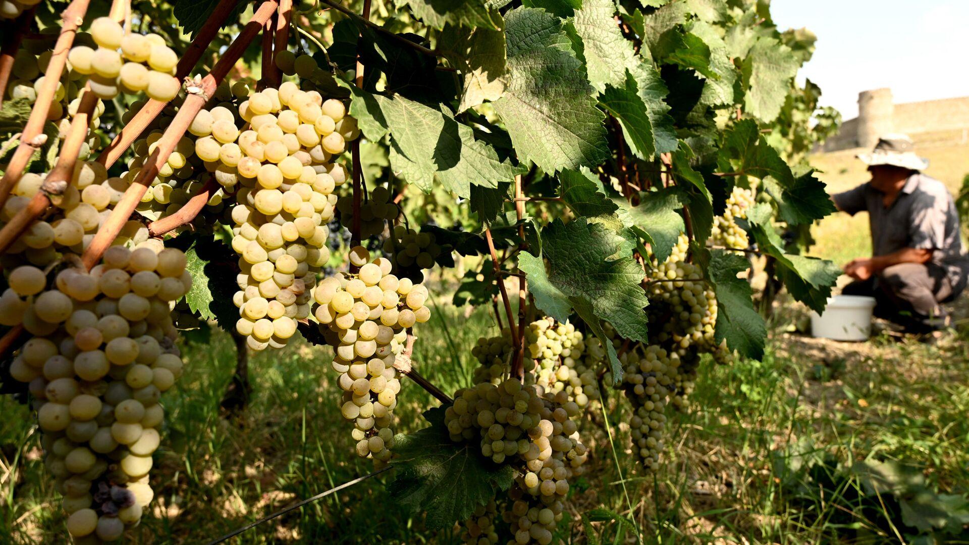 Сбор урожая винограда - ртвели в регионе Кахети  - Sputnik Грузия, 1920, 12.09.2021