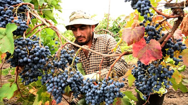 Сбор урожая винограда - ртвели в регионе Кахети  - Sputnik Грузия