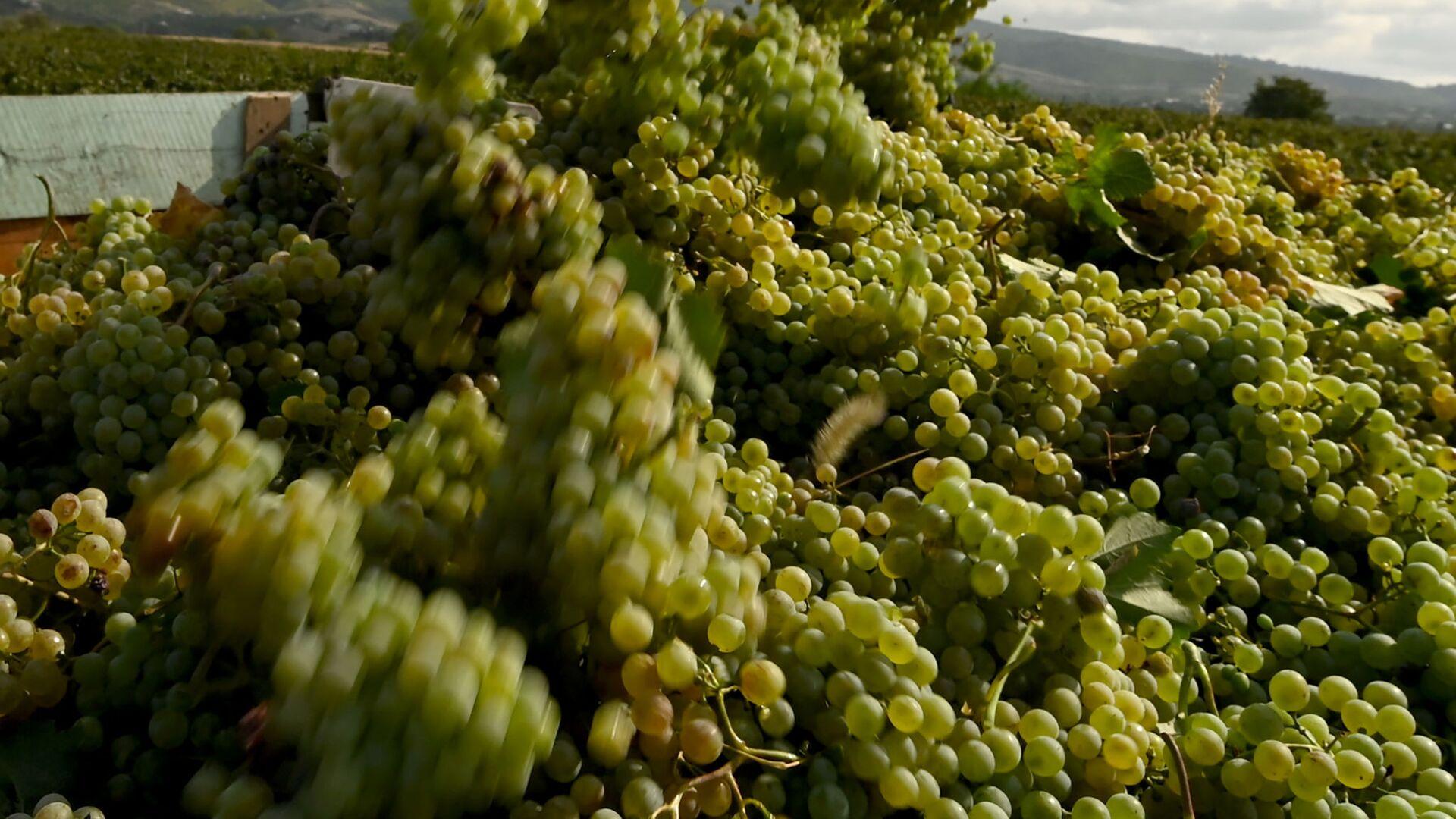 Сбор урожая винограда - ртвели в регионе Кахети  - Sputnik Грузия, 1920, 03.09.2021