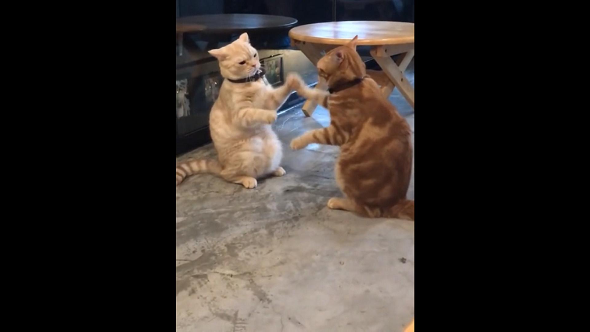 Котов застали за очень ленивой и монотонной дракой – забавное видео - Sputnik Грузия, 1920, 14.10.2021