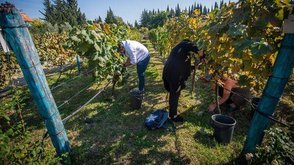 Празднование окончания Ртвели в винной компании Шуми - Sputnik Грузия