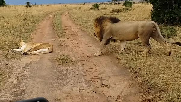 Лев решил неожиданно разбудить львицу и поплатился за это – видео - Sputnik Грузия