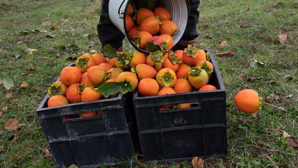 Сбор урожая хурмы - Sputnik Грузия