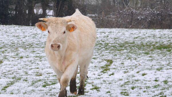 ძროხა თოვლიან მინდორზე - Sputnik საქართველო