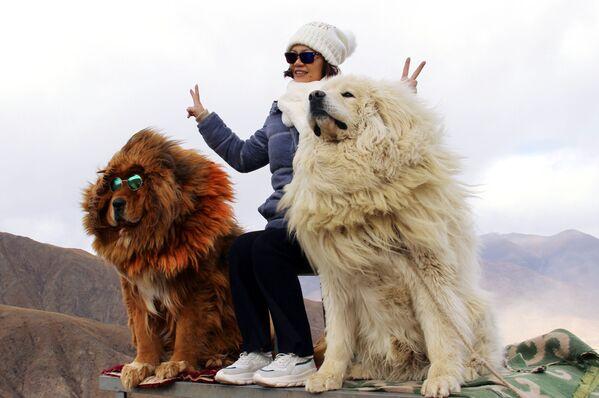 Женщина фотографируется с собаками породы тибетский мастиф в горах Тибета - Sputnik Грузия