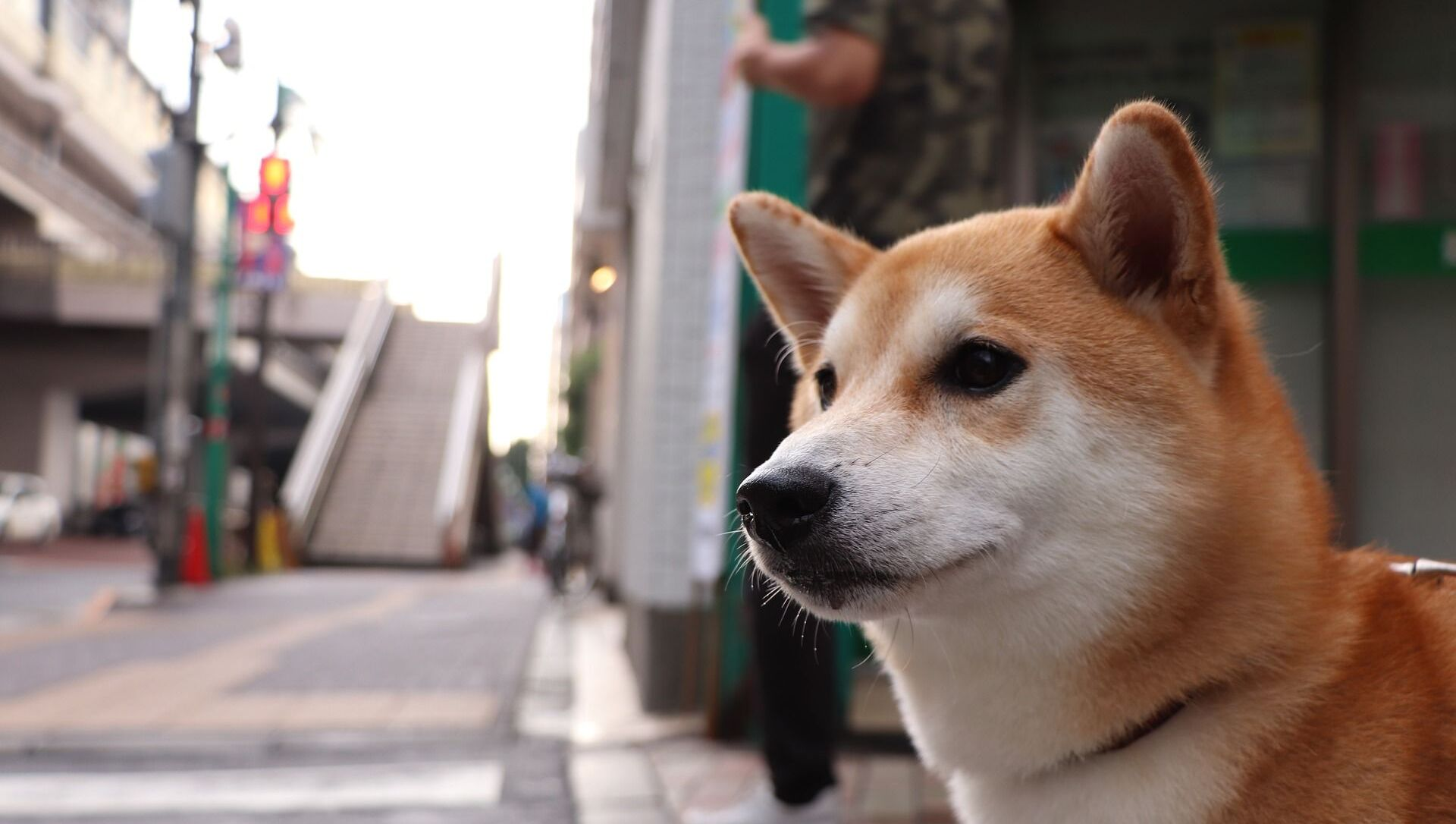 Собака породы сиба-ину - Sputnik Грузия, 1920, 16.05.2021