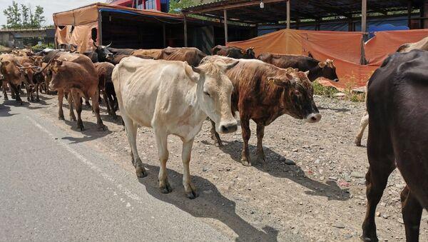 Коровы идут по дороге вдоль обочины - Sputnik Грузия