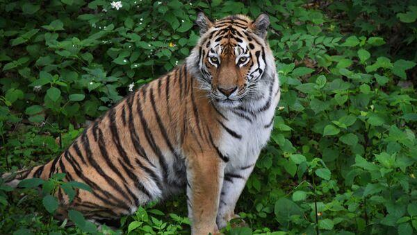 Тигр Амур в Приморском сафари-парке - Sputnik Грузия