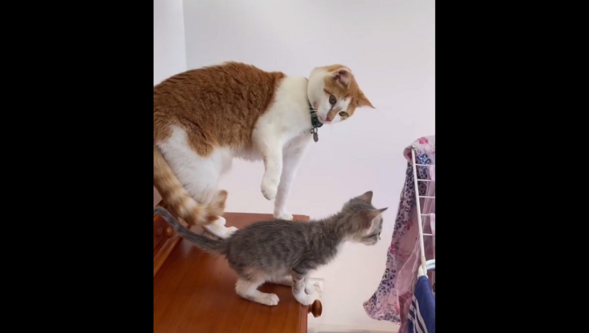 Мама-кошка пытается бороться с желанием толкнуть котенка с комода – забавное видео - Sputnik Грузия, 1920, 02.07.2021