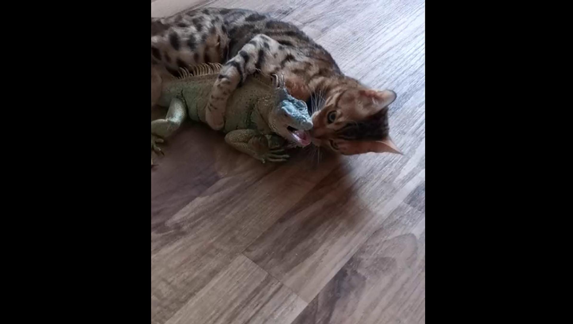 Странная парочка: поцелуи и обнимашки кота с игуаной умилили Сеть – видео - Sputnik Грузия, 1920, 13.07.2021