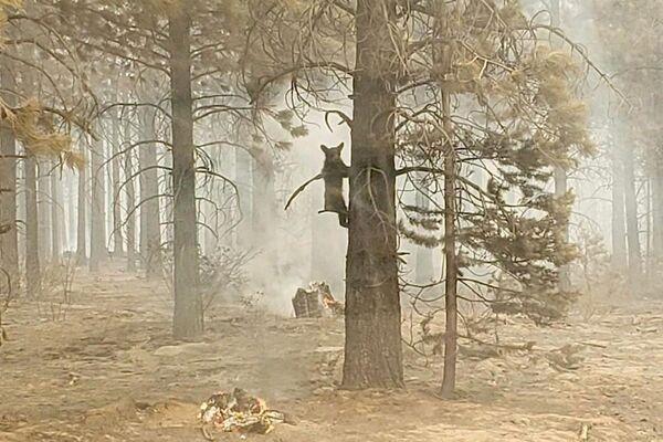 დათვი ცდილობს ხეზე აძრომას, როდესაც ის სახანძრო უსაფრთხოების სამსახურის ოფიცერმა შენიშნა - Sputnik საქართველო