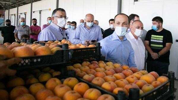 Сбор урожая персиков в Кахети - Sputnik Грузия