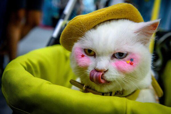 სხვადასხვა ფერის თვალებიანი კატა გამოფენაზე - Sputnik საქართველო
