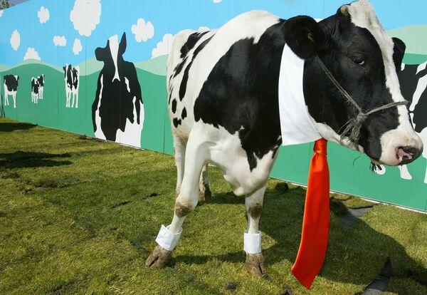 ძროხა წითელი ჰალსტუხით - Sputnik საქართველო