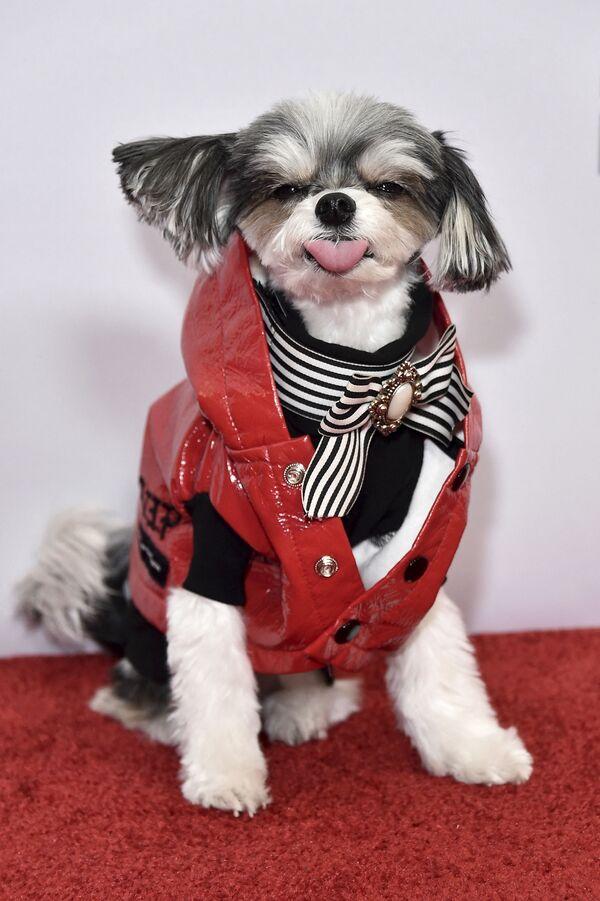 ინტერნეტში ცნობილი ძაღლი Tinkerbelle The Dog წვეულებაზე iHeartRadio Jingle Ball - Sputnik საქართველო