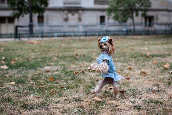 კაბაში გამოწყობილი ძაღლი მოდური ჩვენების წინ - Sputnik საქართველო