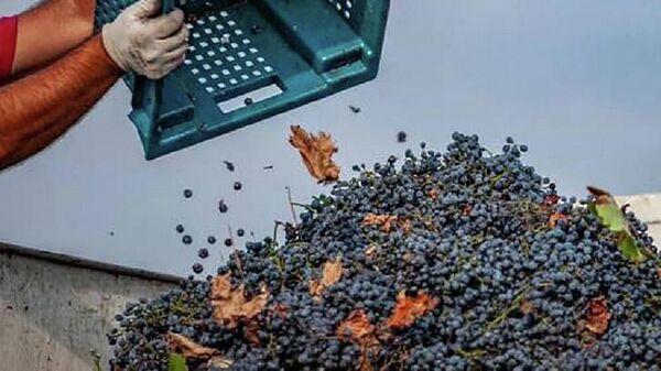 Прием поврежденного градом винограда в регионе Кахети - Sputnik Грузия