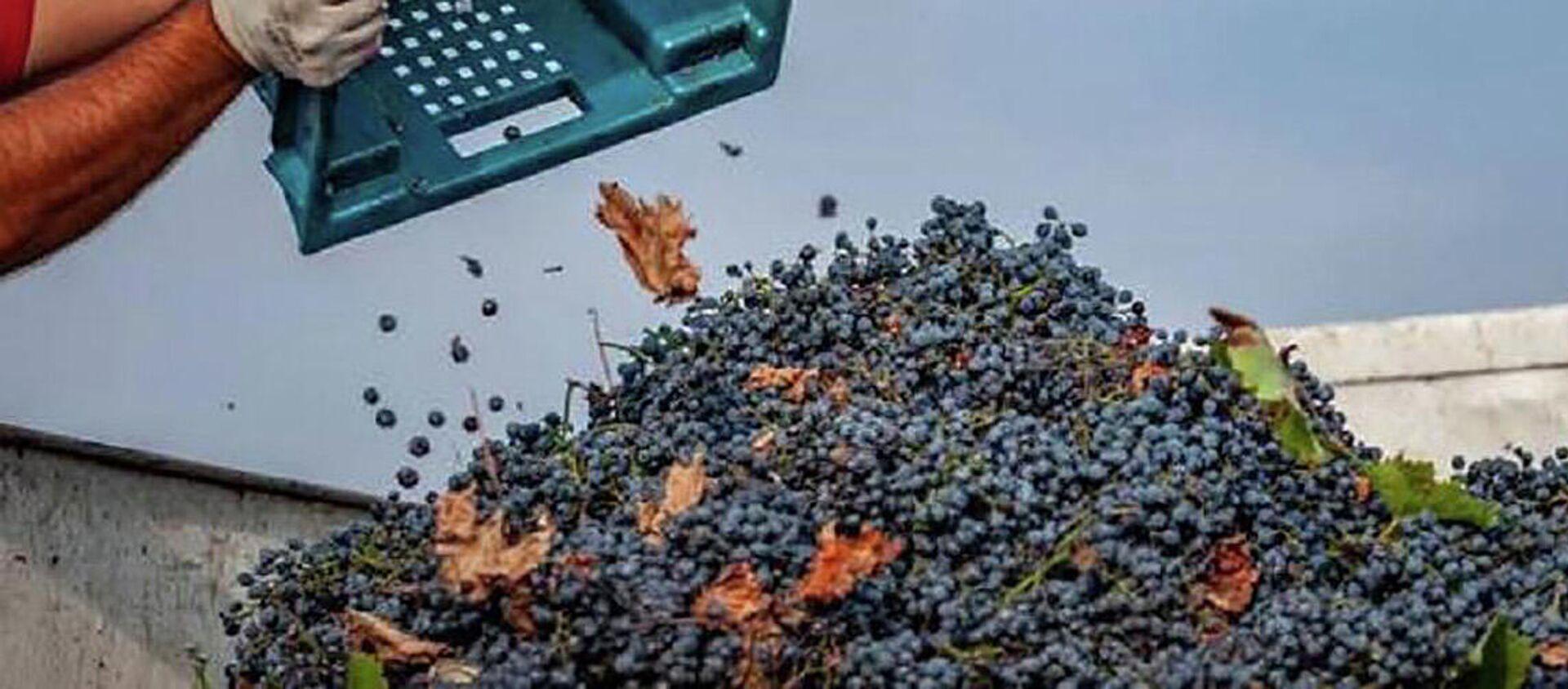 Прием поврежденного градом винограда в регионе Кахети - Sputnik Грузия, 1920, 07.09.2021