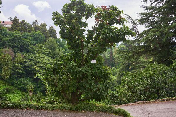 Но это и прекрасное место для отдыха. Сегодня в Батумском ботаническом саду можно полюбоваться прекрасными видами, увидеть редкие растения и просто хорошо провести время - Sputnik Грузия