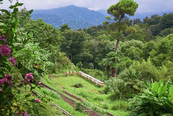 Батумский ботанический сад занимает огромную площадь - более 113 гектаров. Коллекция его растений насчитывает более пяти тысяч видов - Sputnik Грузия