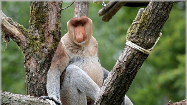 ცხვირა მაიმუნი - Sputnik საქართველო