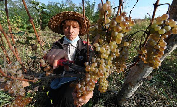 Тем временем пандемия коронавируса дает о себе знать. Даже в поле некоторые виноградари работают в масках.  - Sputnik Грузия