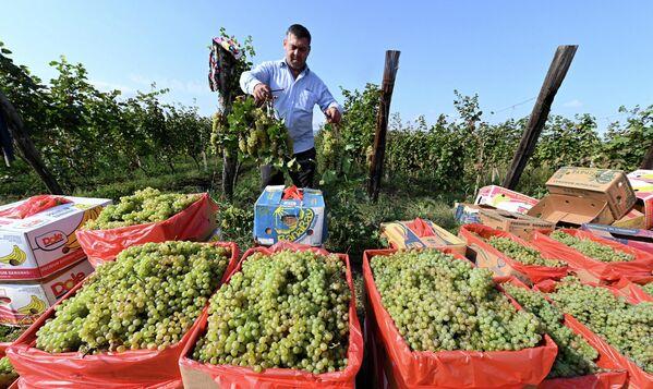 """Для помощи фермерам в качестве субсидий государством выделено 100 миллионов лари. Эти средства направляются на закупку сортов винограда """"ркацители"""" и """"кахури мцване"""", которые выращивают в Кахети. - Sputnik Грузия"""