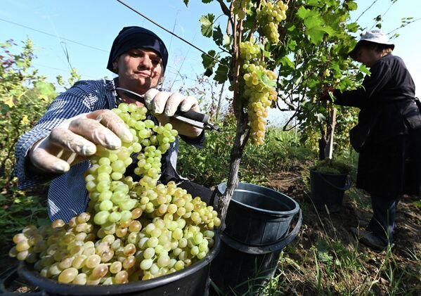 Министерство сельского хозяйства Грузии ждет большой урожай. В планах государства - переработка на заводах до 300 тысяч тонн винограда. - Sputnik Грузия