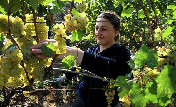 Ртвели - это не просто сбор урожая винограда, но и радостное событие, которое ждут с нетерпением.  - Sputnik Грузия
