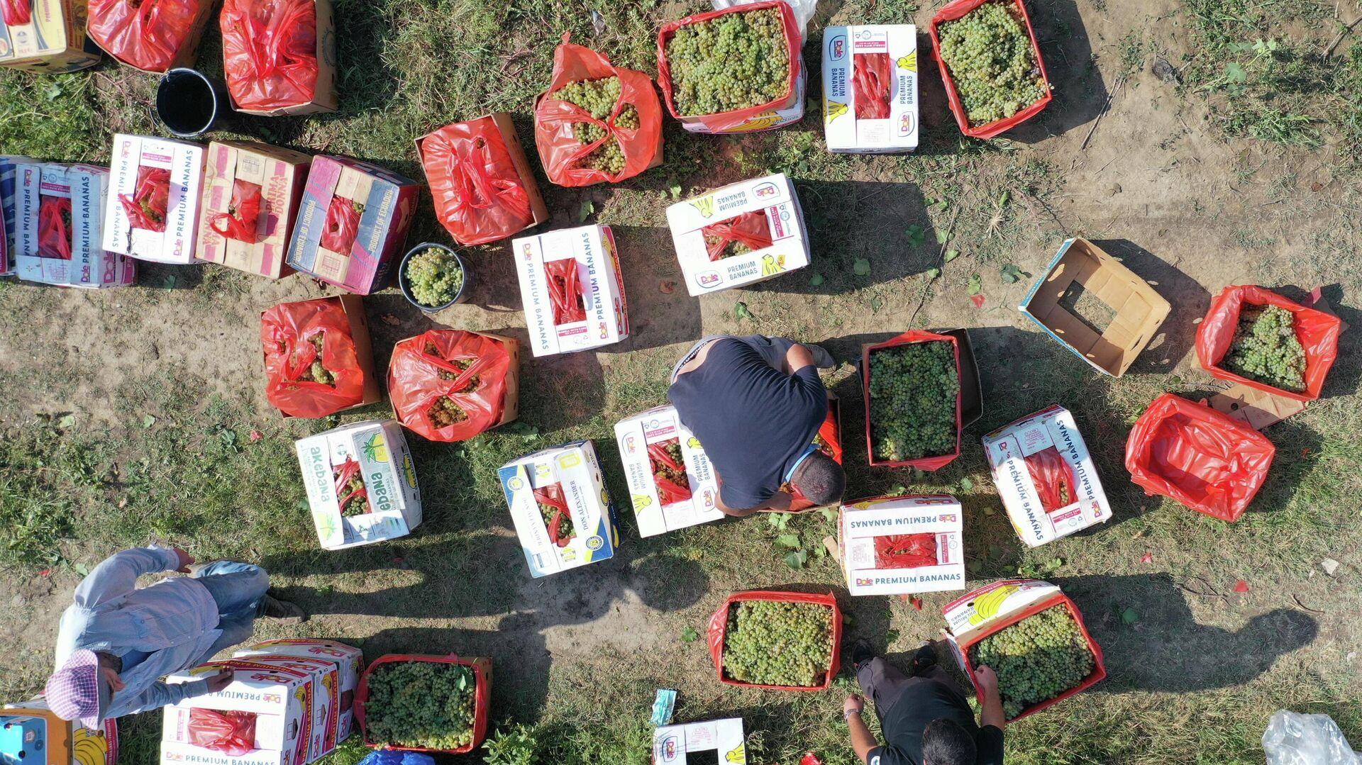 Сбор урожая винограда - ртвели 2021 в Кахети - Sputnik Грузия, 1920, 21.09.2021