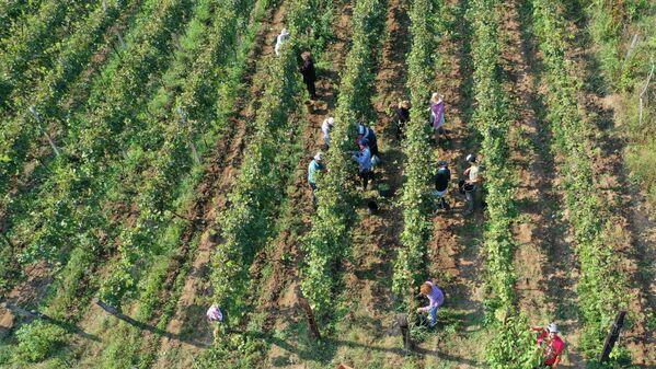 Сбор винограда идет целый день.  Начинается ртвели с раннего утра и длится целый день до вечера. - Sputnik Грузия