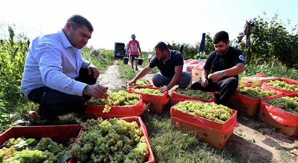 В этом году на перерабатывающие заводы свой урожай винограда сдали уже 15 тысяч фермеров - Sputnik Грузия