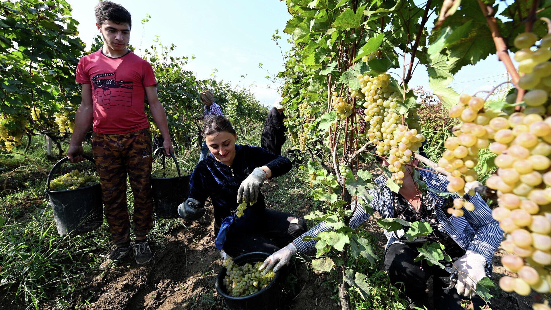 Сбор урожая винограда - ртвели 2021 в Кахети. Фермеры работают на винограднике - Sputnik Грузия, 1920, 13.10.2021