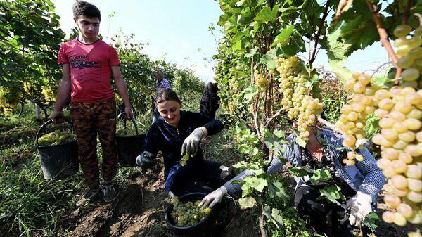 Сбор урожая винограда - ртвели 2021 в Кахети. Фермеры работают на винограднике - Sputnik Грузия