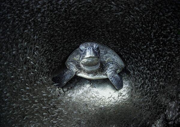 Зеленая черепаха в окружении стеклянной рыбы. Фотограф Эйми Джан. Риф Нингалу, Западная Австралия - Sputnik Грузия