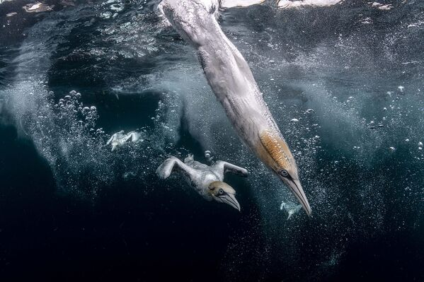 Фотограф Хенли Спирс. Остров Носс, Шетландские острова, Великобритания. - Sputnik Грузия