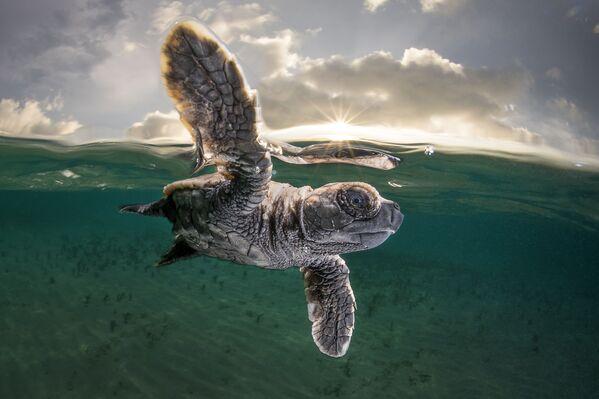 """""""Эта черепаха впервые поплыла"""", - говорит фотограф Мэтти Смит. Остров Лиссенунг, Папуа-Новая Гвинея - Sputnik Грузия"""