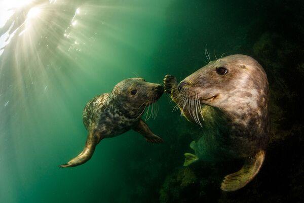 Игривые серые тюлени - вид, охраняемый в Великобритании на протяжении десятилетий в соответствии с Законом о сохранении тюленей 1970 года. Острова Фарн, Соединенное Королевство - Sputnik Грузия