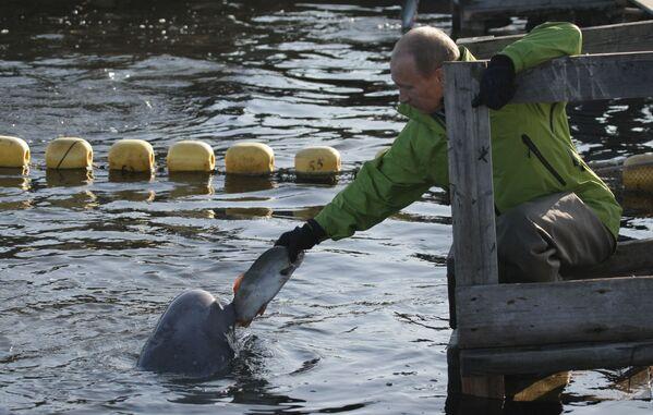 Владимир Путин кормит белух, содержащихся в вольерах на острове Чкалова в Охотском море - Sputnik Грузия