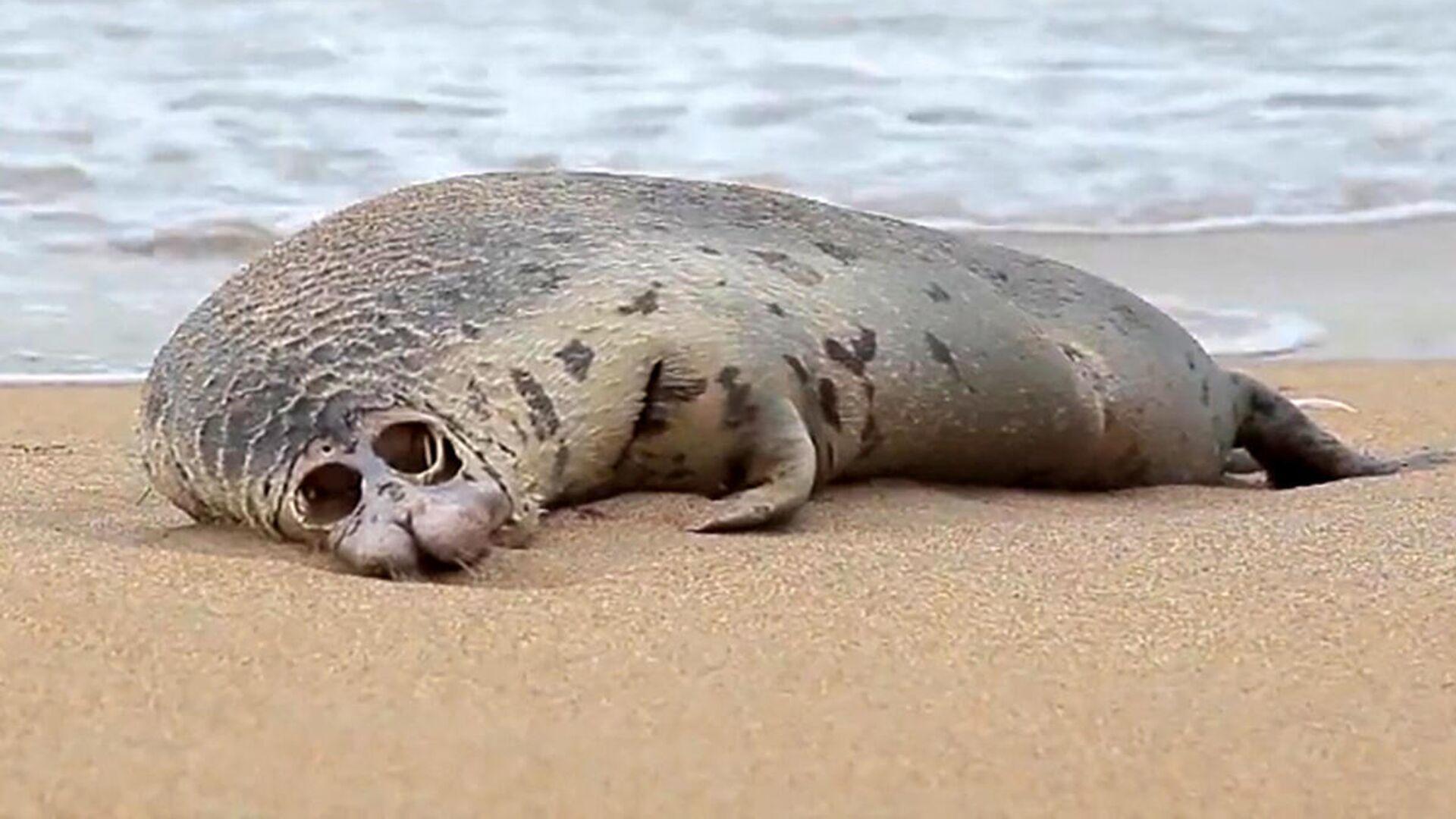 Тело мертвого тюленя, выброшенного на побережье. Архивное фото - Sputnik Грузия, 1920, 12.10.2021
