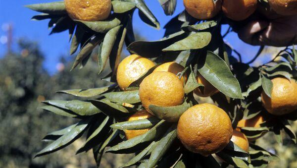 მანდარინის ხის ტოტი - Sputnik საქართველო
