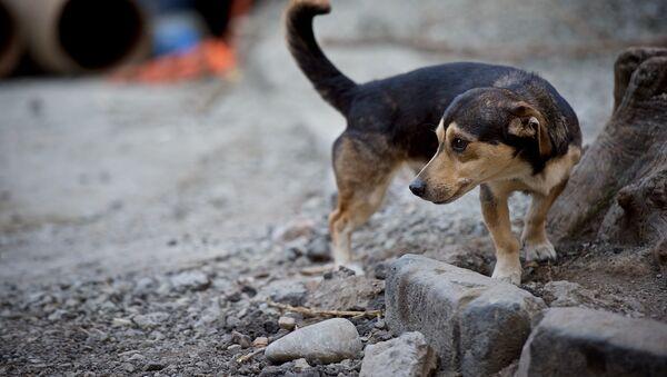 მიუსაფარი ძაღლი - Sputnik საქართველო