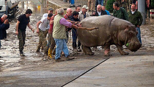 Бегемот Беги, сбежавший из тбилисского зоопарка после наводнения - Sputnik Грузия