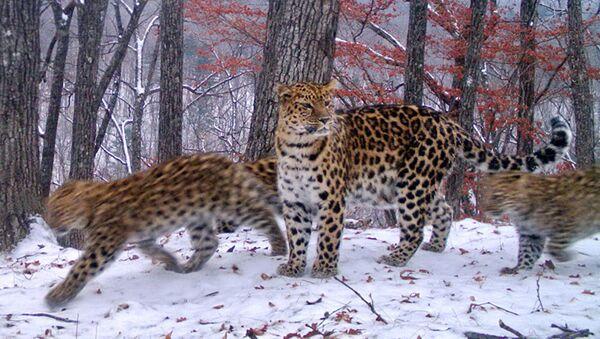 Леопардесса Умка с котятами - Sputnik Грузия