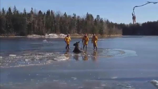 კანადაში ყინულში გაჭედილი ლოსი ცულების დახმარებით გაათავისუფლეს - Sputnik საქართველო