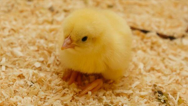 Цыпленок на птицефабрике в Волгоградской области - Sputnik Грузия
